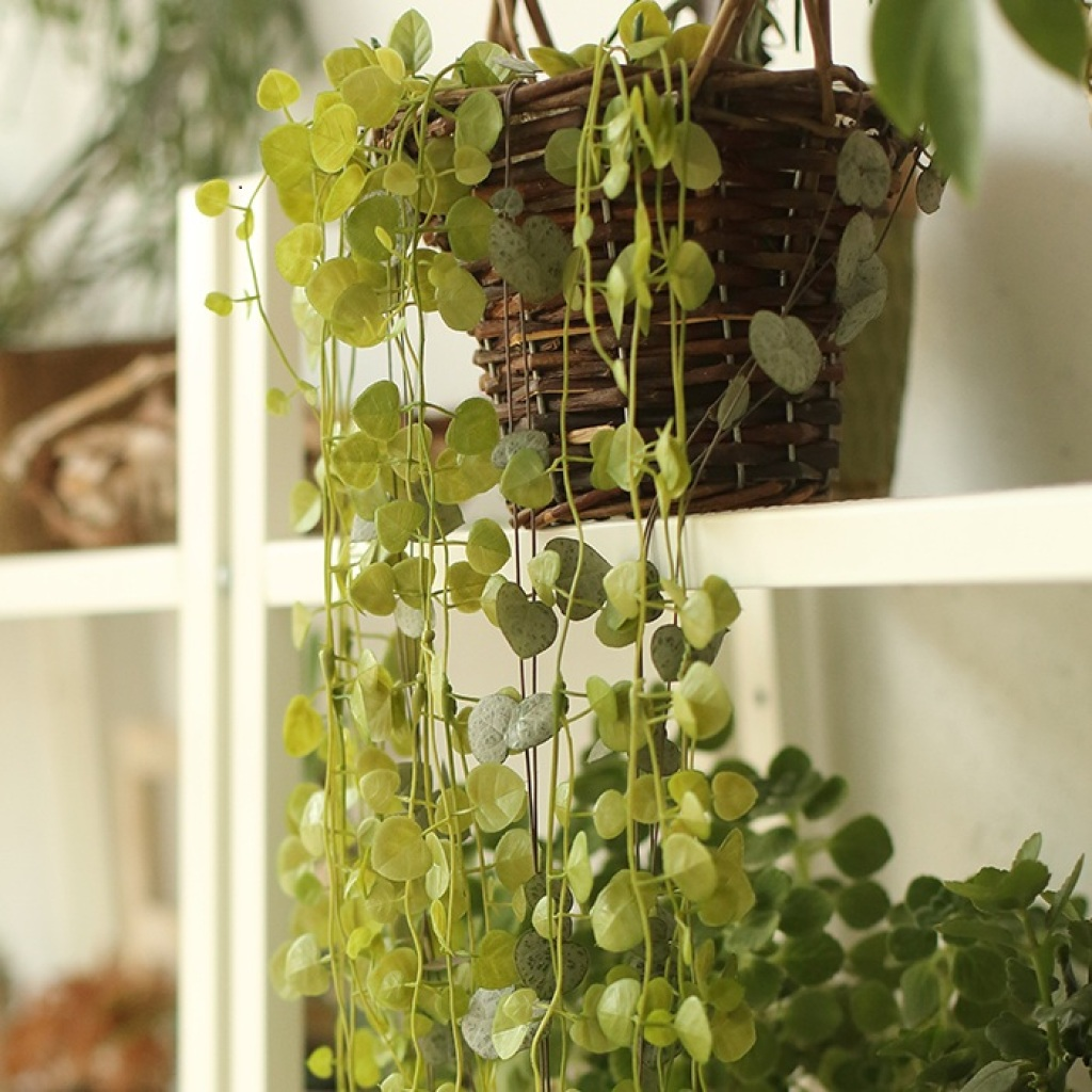 吊兰花卉 多肉植物 垂吊吊篮