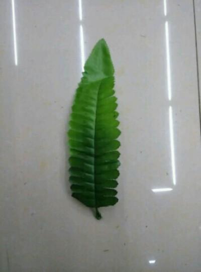 单片鱼刺叶蕨草排草浅绿打底色