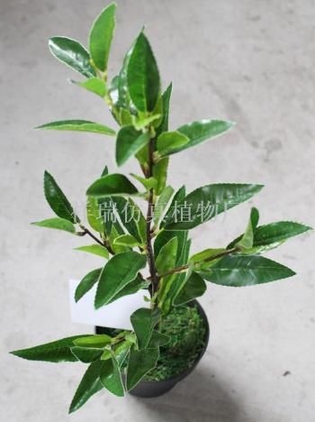 The false branch leaves four Camellia plants of Anji white tea Green Tea wholesale Decoration Engineering